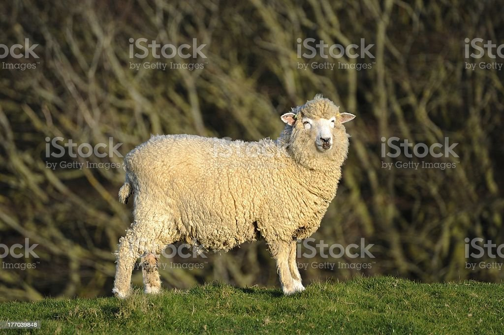Sheep on a hilltop with trees in the background. royalty-free stock photo