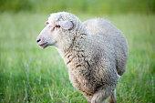 istock Sheep on a meadow 1208227630