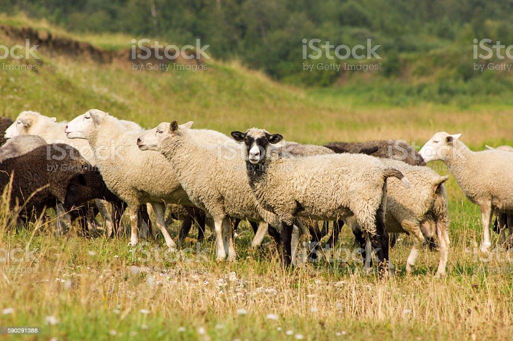 Sheep on a pasture royaltyfri bildbanksbilder