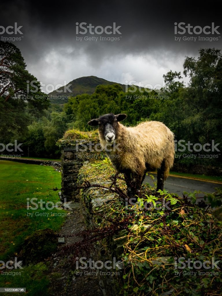 Sheep on a wall in Llanberis, Wales stock photo