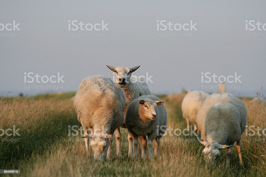 Sheep on dike royalty-free stock photo