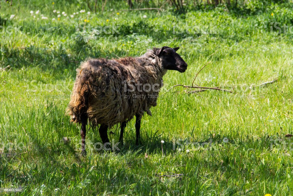 Sheep on green meadow royalty-free stock photo
