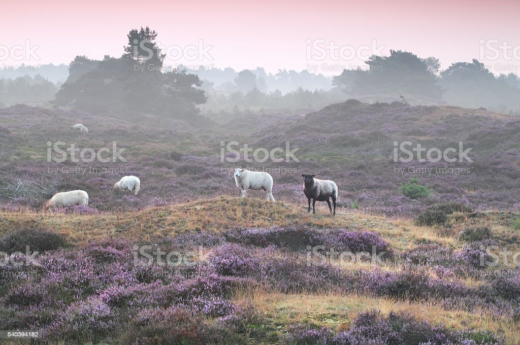 sheep on hill with flowering heather stock photo