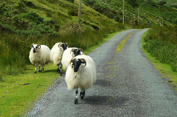 Sheep on Irish road stock photo