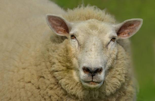Schaf auf Wiese – Foto