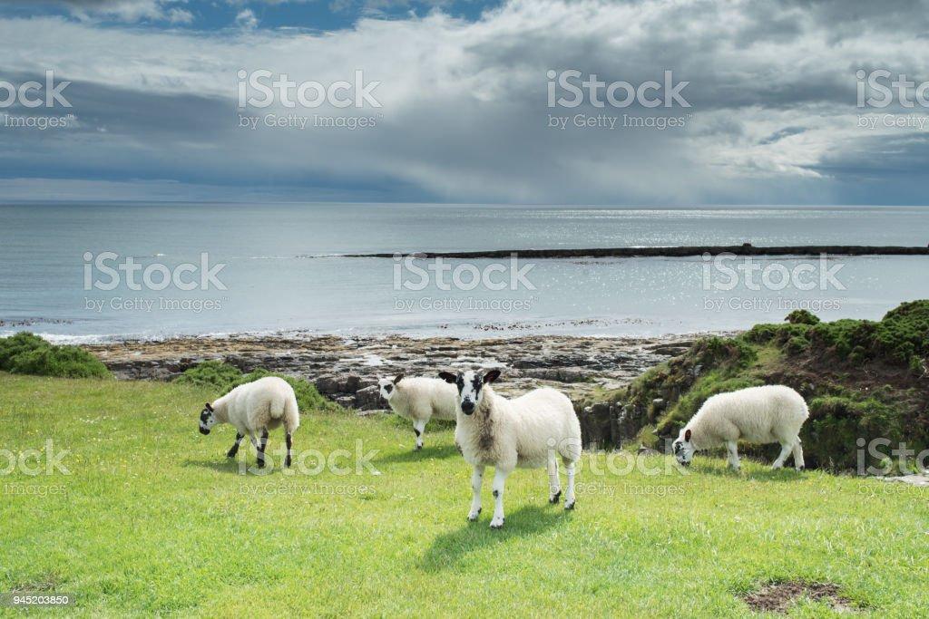 Sheep on Northumberland coast, UK, stock photo