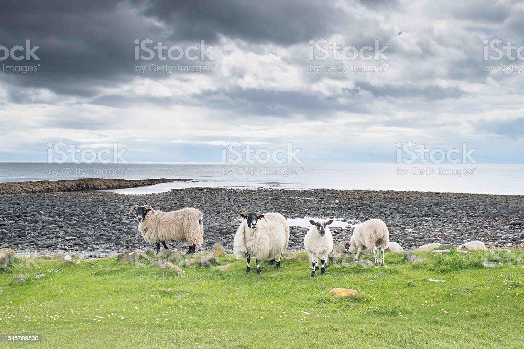 Sheep on Northumberland headland UK stock photo