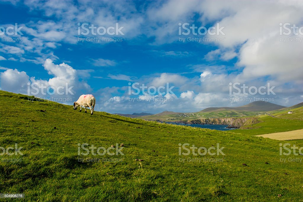 Sheep on pasture at hills in Ireland stock photo