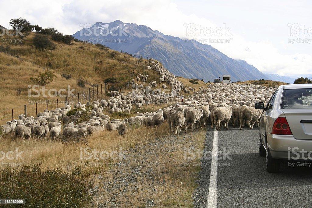 Sheep on Road royalty-free stock photo