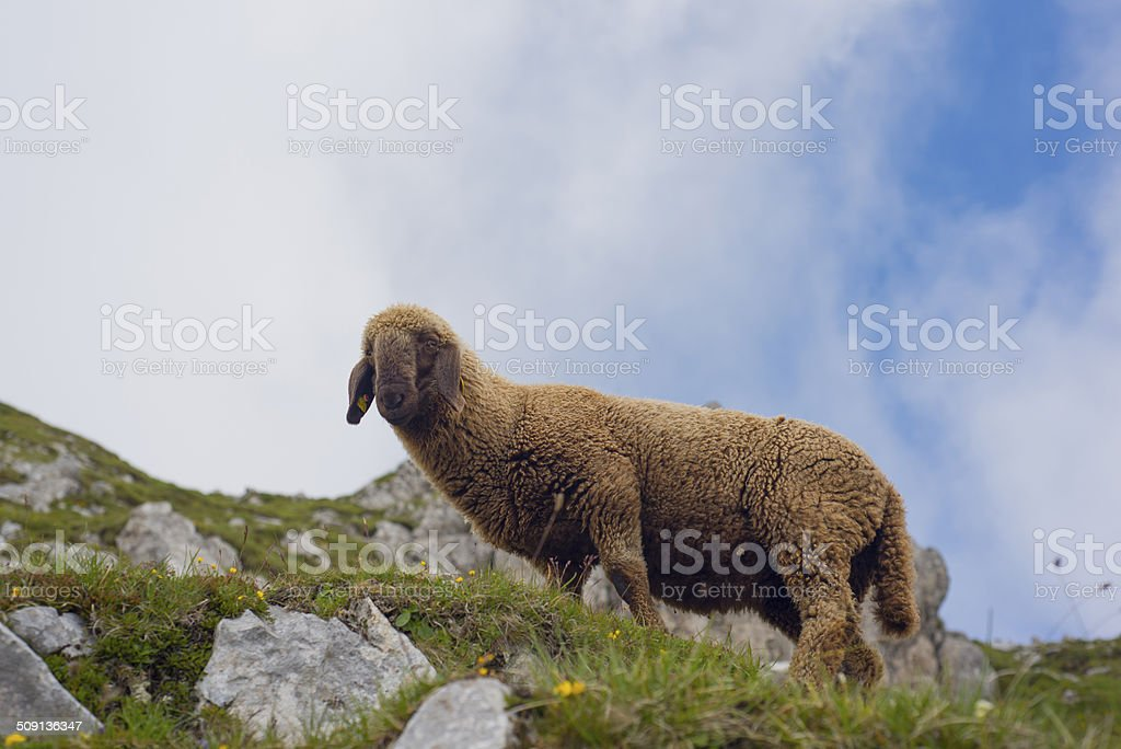 Sheep on rocky meadow stock photo