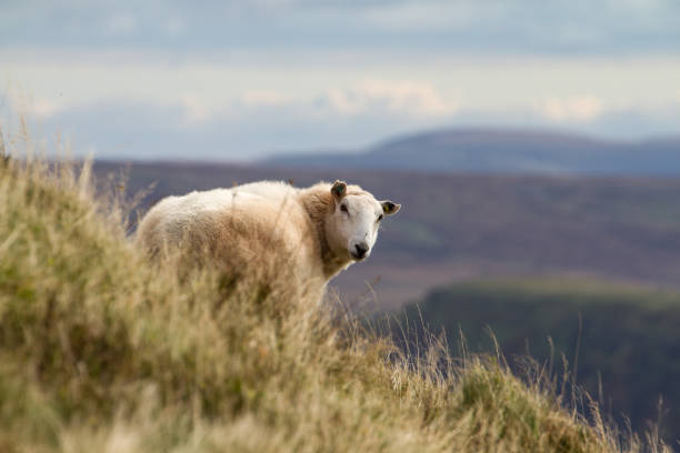 Sheep on rural Welsh hillside in the Brecon Beacons stock photo