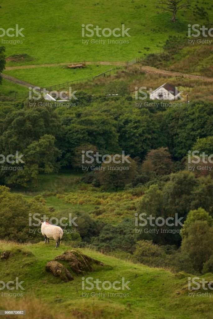 Sheep on Scottish hillside stock photo