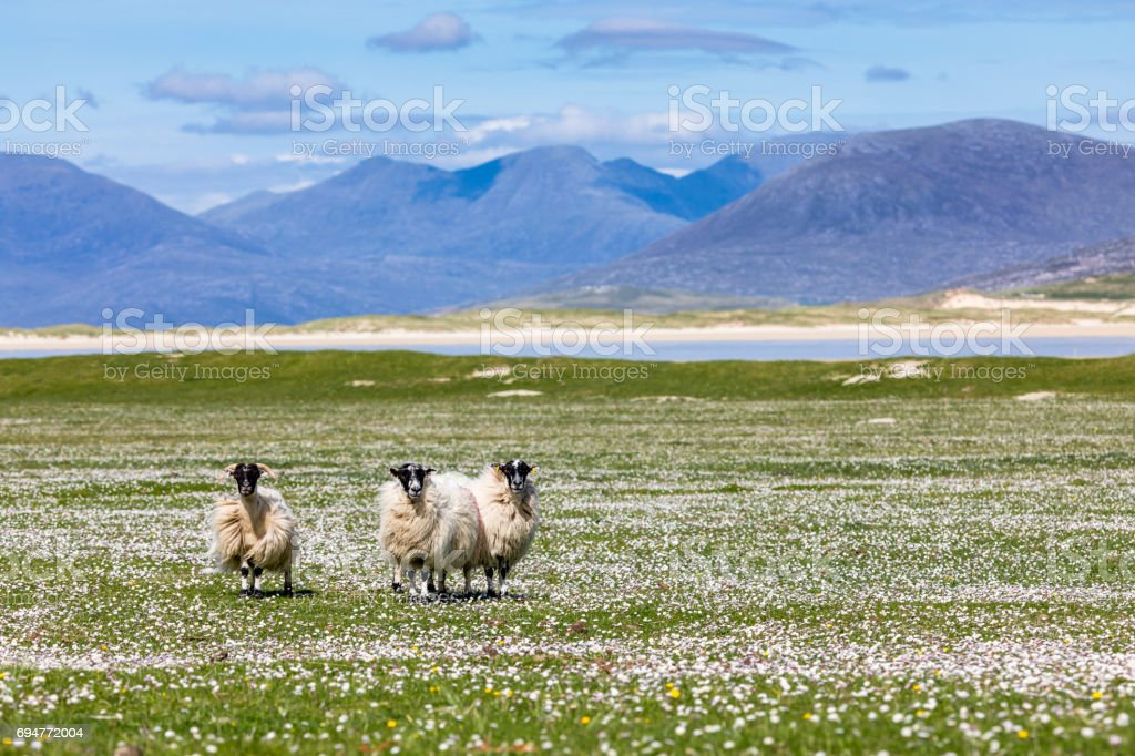Sheep on the machair (wild flowers) with the mountains of Harris in the background stock photo