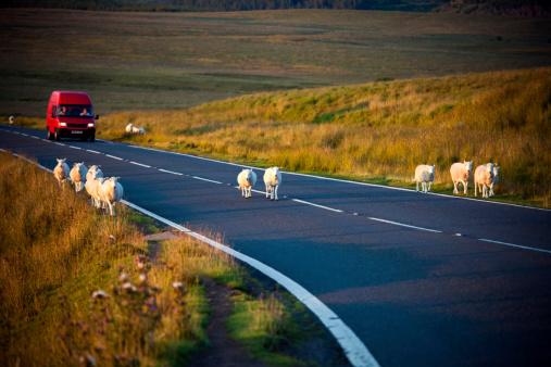 Sheep on the motorway
