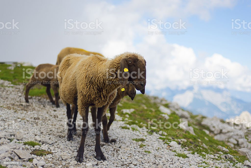 Sheep on the mountain top stock photo