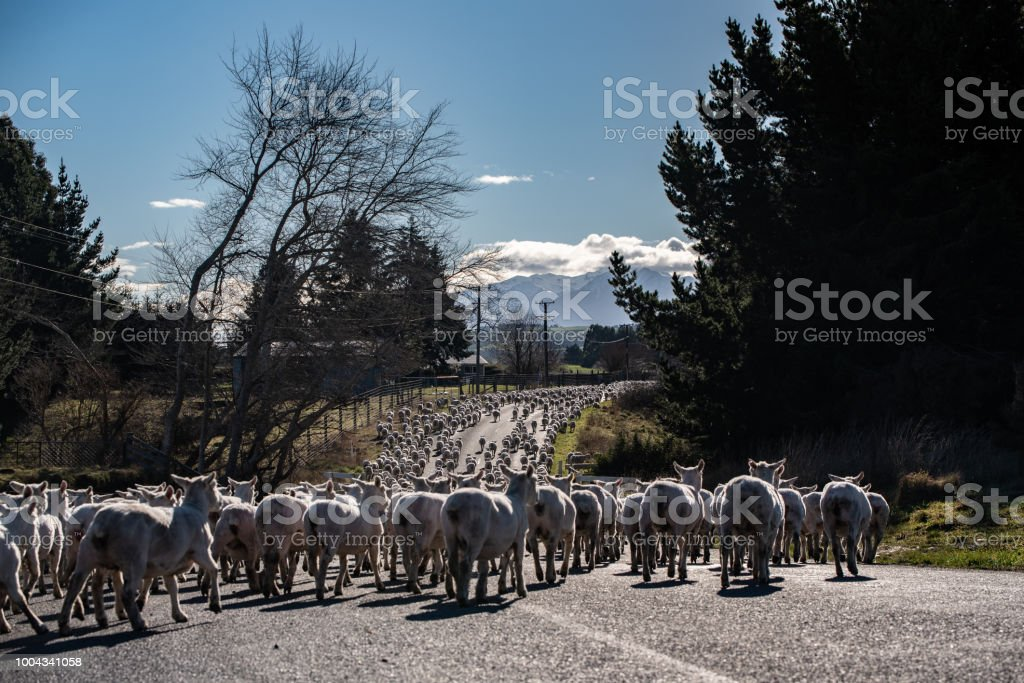 Sheep on the road stock photo