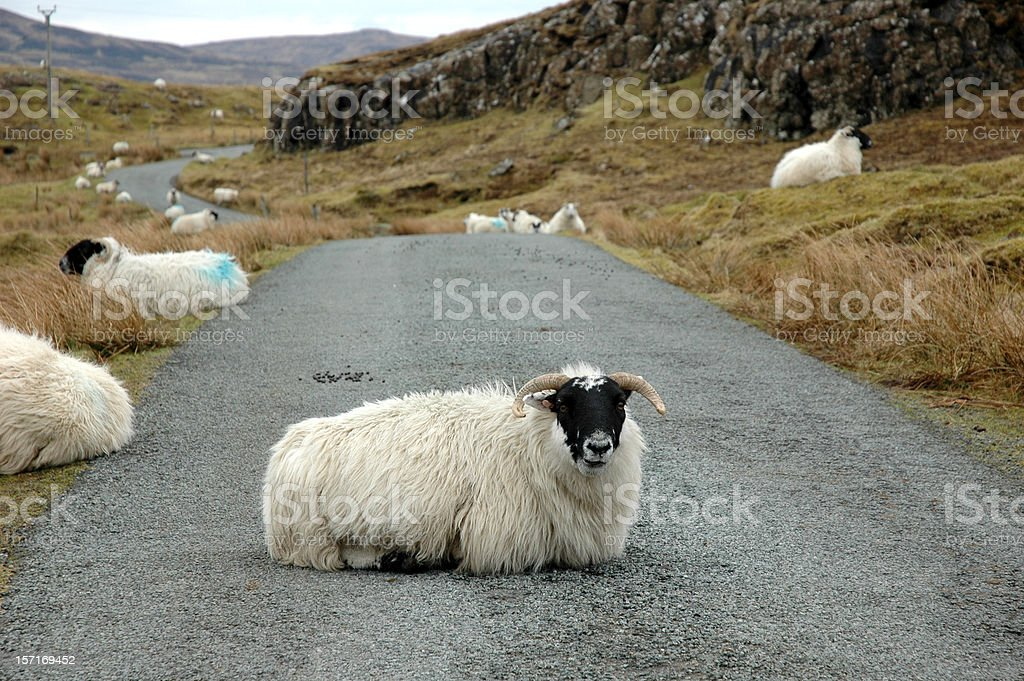 Sheep on the road royalty-free stock photo