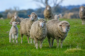 istock Sheep out in the paddock 1252202414
