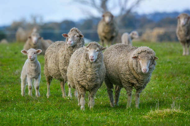 Sheep out in the paddock Several Sheep in a field merino sheep stock pictures, royalty-free photos & images