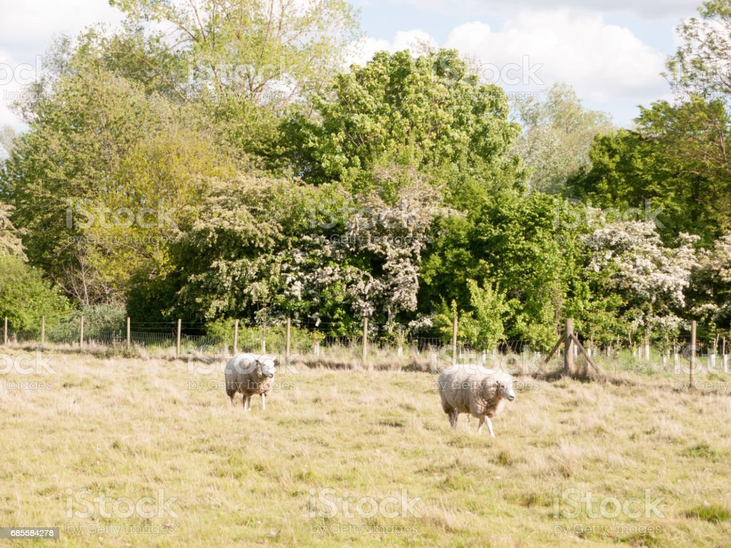 sheep outside in the country walking and resting in the summer light in day time afternoon in essex england of the uk very white and cute royalty-free stock photo