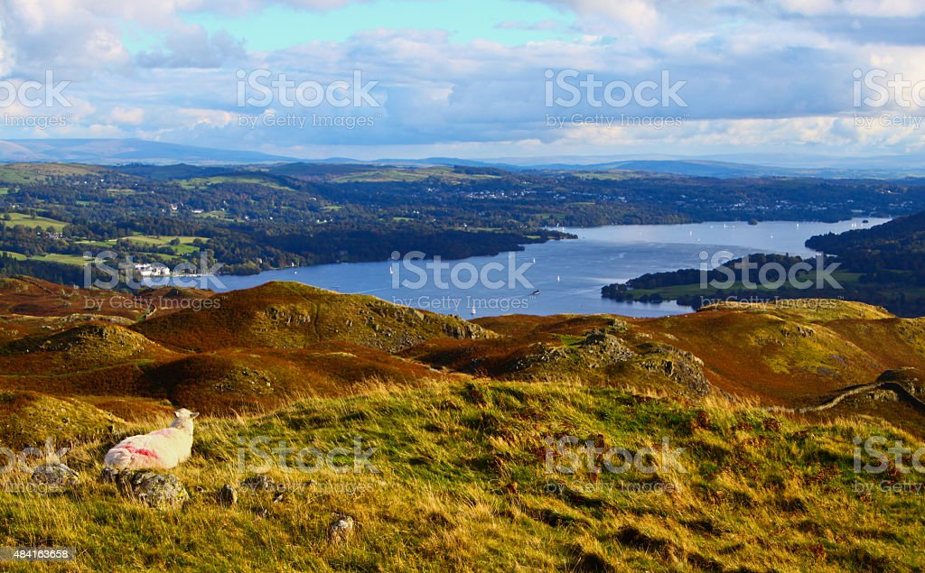 Sheep overlooking Windermere Lake in the Lake District stock photo