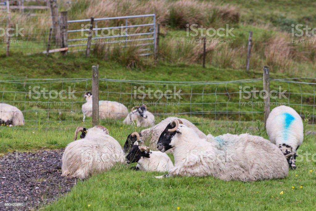sheep pasturing  on loch leven nearby Glencoe stock photo