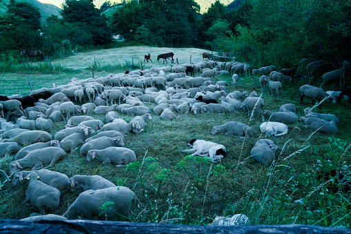 Sheep penned in Abruzzo, Italy