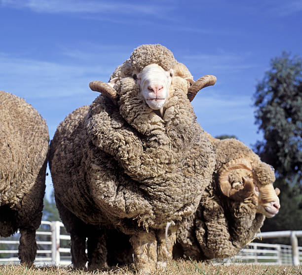 sheep stud merino rams  NSW Australia merino sheep stock pictures, royalty-free photos & images