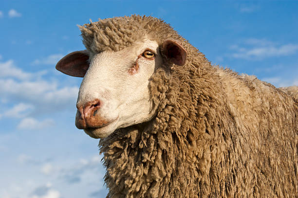 Sheep A head and shoulders pic of a merino sheep against a blue sky. merino sheep stock pictures, royalty-free photos & images