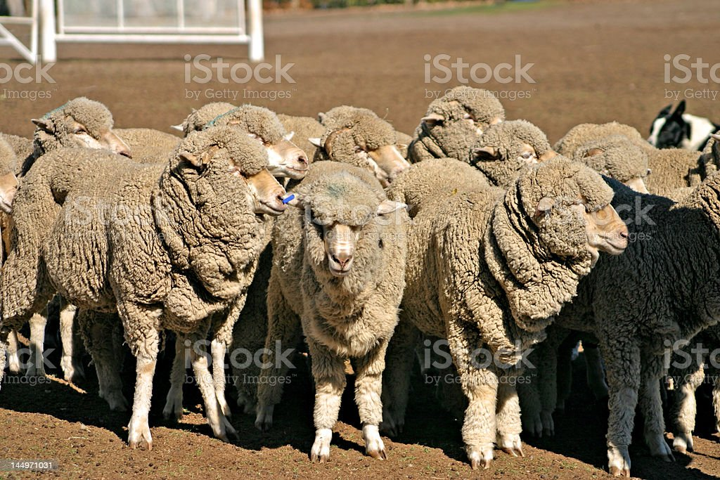 Sheep royalty-free stock photo
