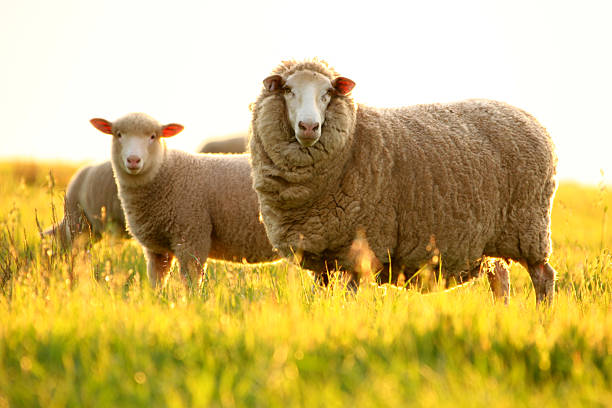Sheep  merino sheep stock pictures, royalty-free photos & images