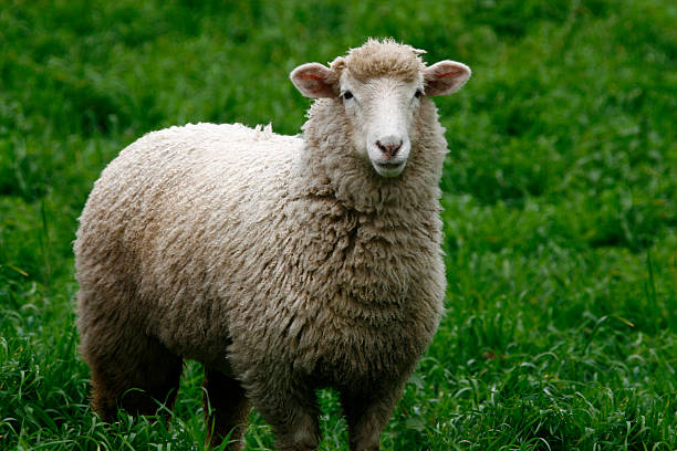 Sheep Sheep standing in long green grass merino sheep stock pictures, royalty-free photos & images