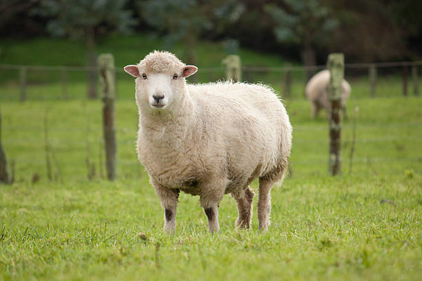 Pecore - foto stock