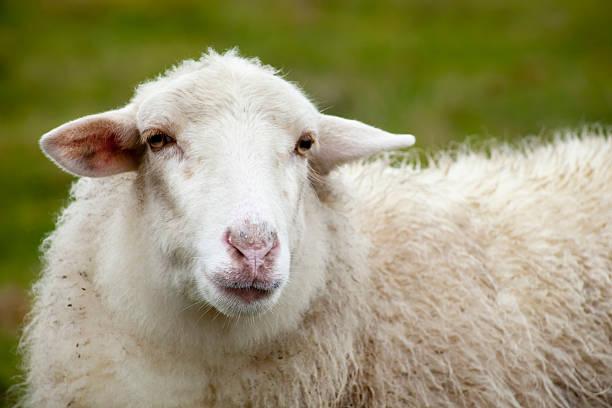 Schaf Augen