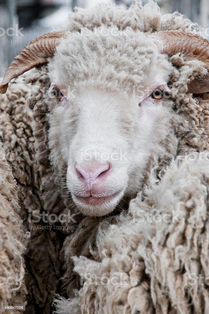 Mouton stock photo