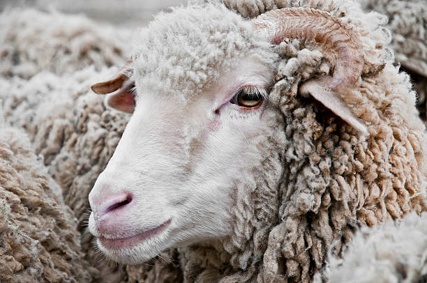 Mouton Portrait serré d'un mouton pendant la transhumance merino sheep stock pictures, royalty-free photos & images