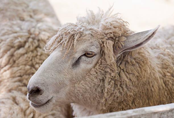 mouton - année du mouton photos et images de collection
