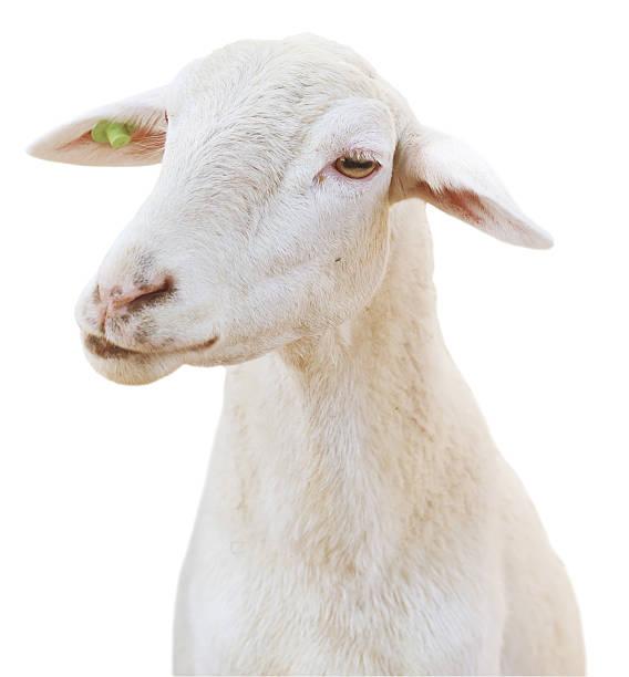 schaf - weißes lamm stock-fotos und bilder