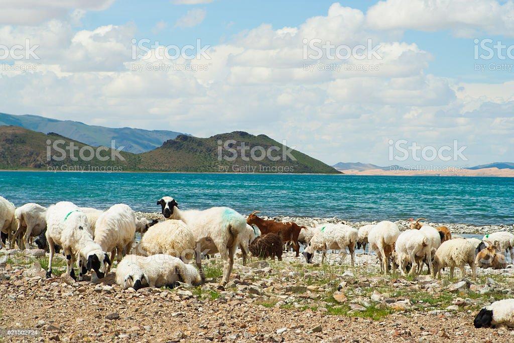 Pecore  foto stock royalty-free