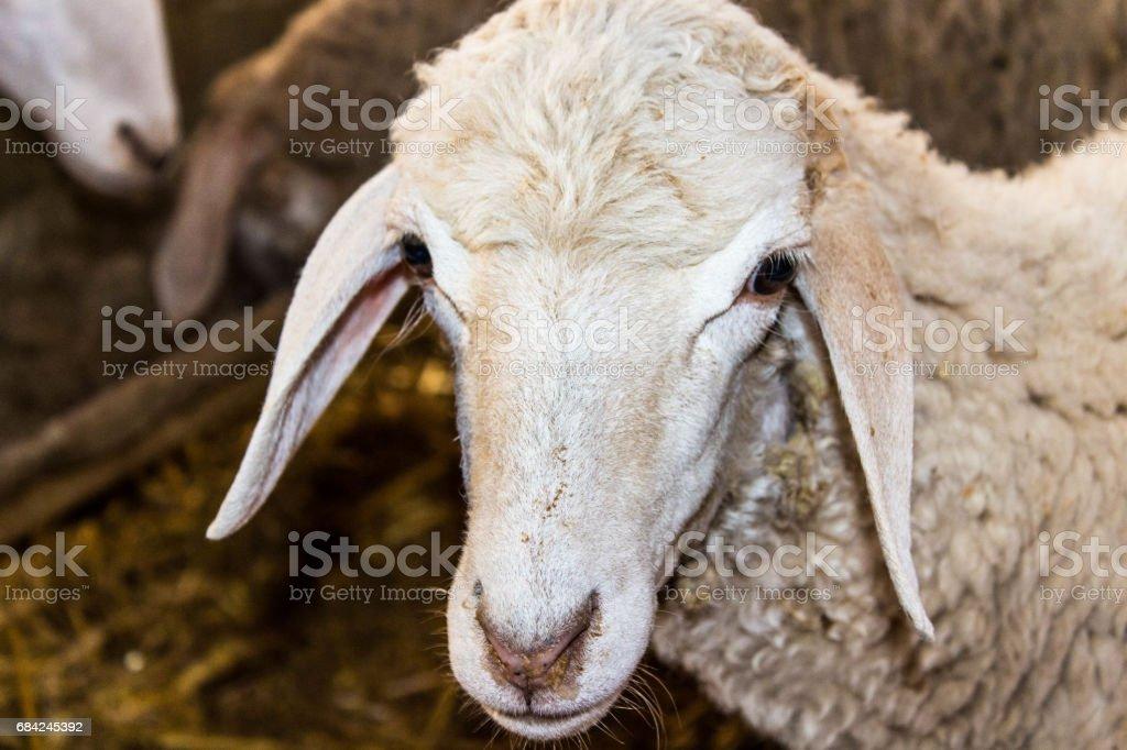 Mouton photo libre de droits