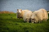 istock Sheep 690654702