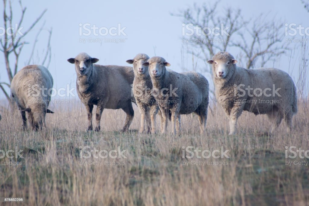 sheep (Ovis aries aries) stock photo