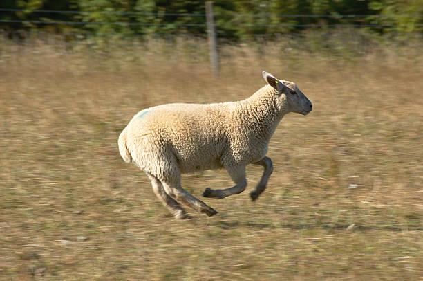 Run Sheep Run
