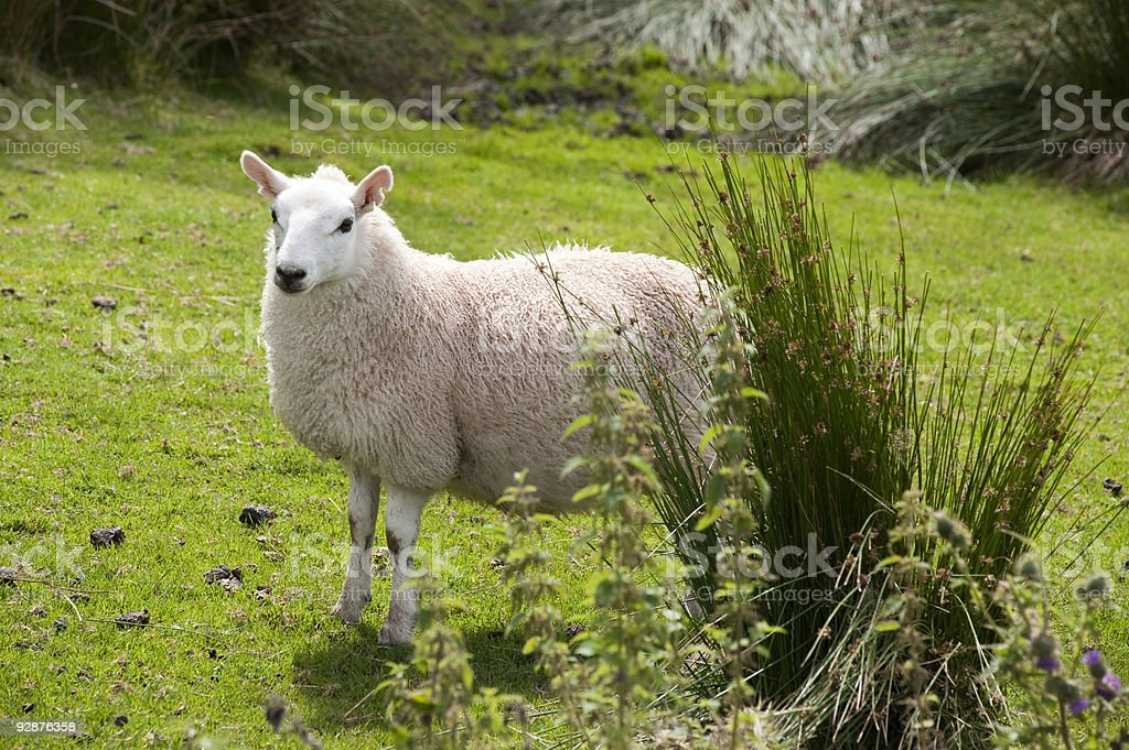 Sheep  Agricultural Field Stock Photo