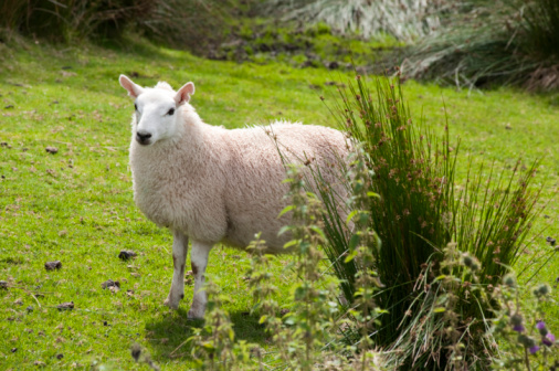 Sheep Stock Photo - Download Image Now