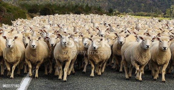 istock Sheep 962277162