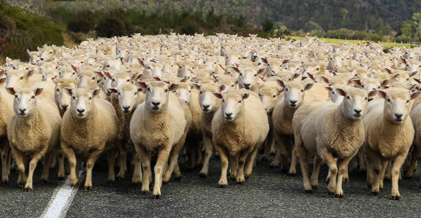 Sheep - foto stock