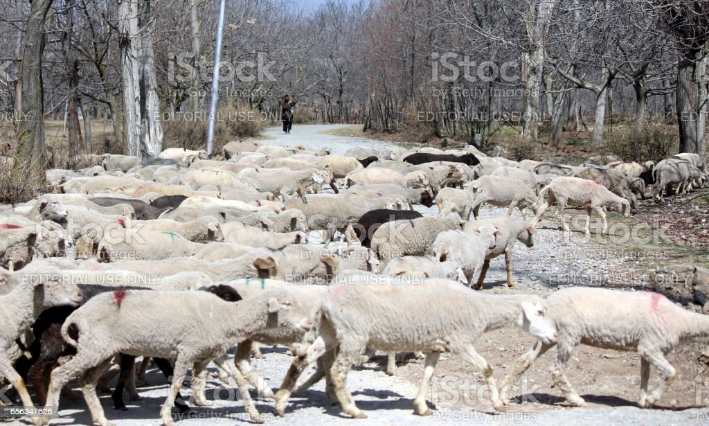 Sheep Rearing stock photo
