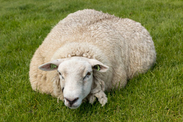 Sheep resting in the grass on the IJsselmeer dyk in the Netherlands. stock photo