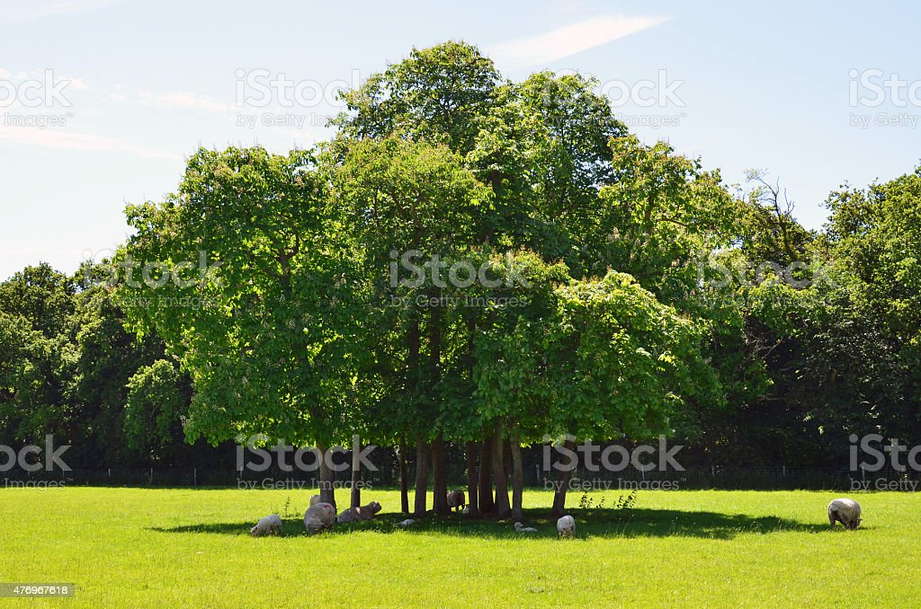 Sheep resting under a tree in a English field. stock photo